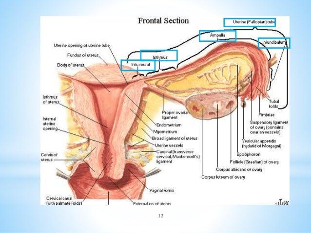 organos-internos-femeninos-12-638.jpg?cb=1404524343