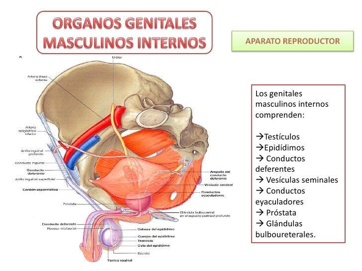 Organos pelvianos