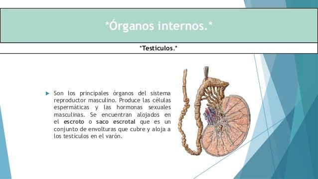Organos reproductores - Masculino y Femenino