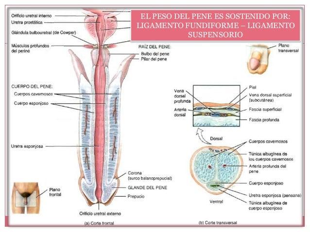 ligamento suspensor del pene