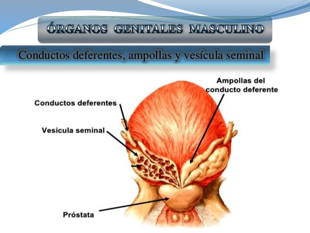 Organos reproductor masculino