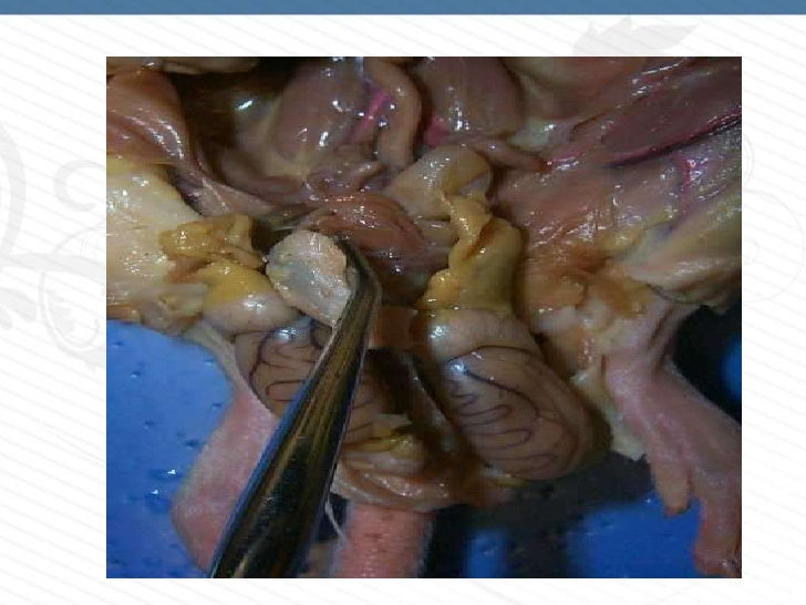 Organos sexuales (resumen)