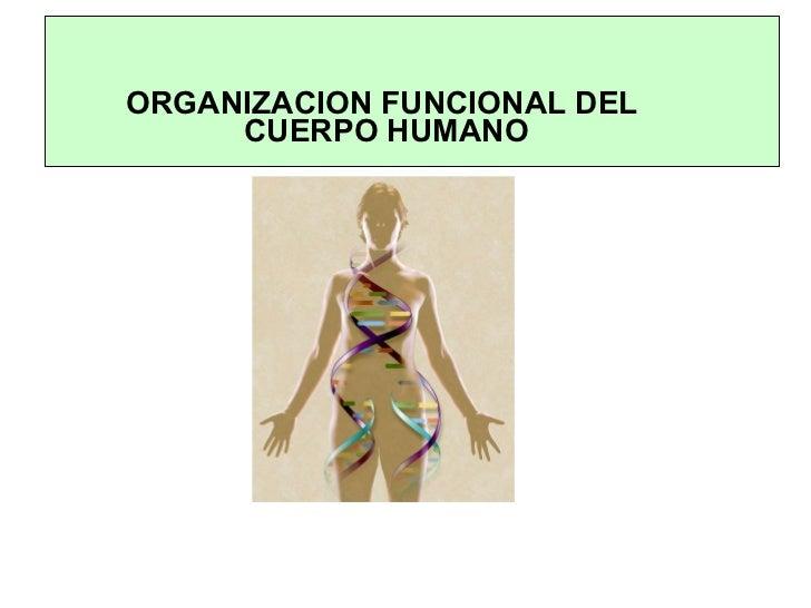 ORGANIZACION FUNCIONAL DEL  CUERPO HUMANO
