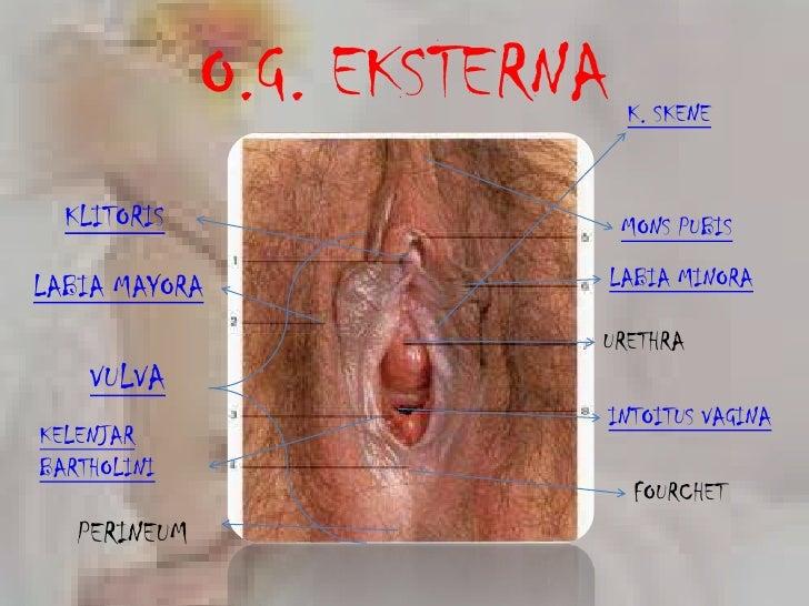 Human anatomy clitoris