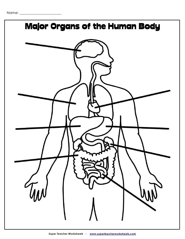 ... Major Organs of the Human Body Super Teacher Worksheet