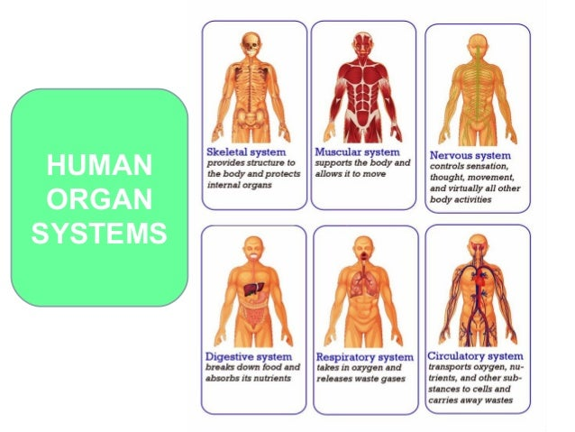 Organs and systems in the human body