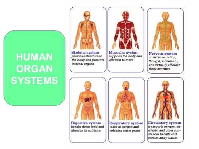 Organs Of The Body Hcsclub