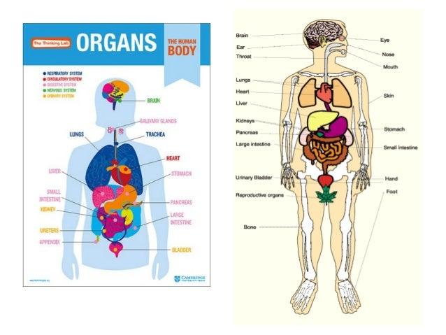 Organs and systems in the human body nervous system brain respiratory systemtrachea lungs ccuart