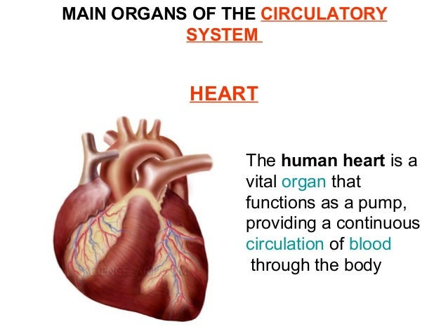 Organs and systems in the human body organs of the circulatory system 11 ccuart Image collections