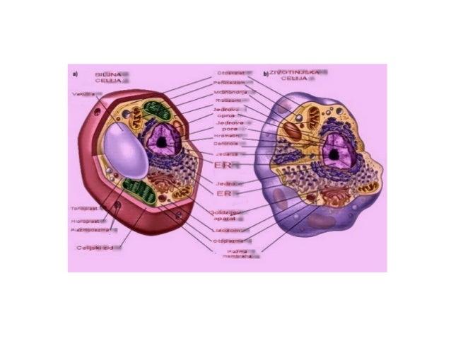U ćeliji osim neorganskih materija nalazese i organska jedinjena koja sadrze C pase nazivanju ugljenikova jedinjenja.U svo...