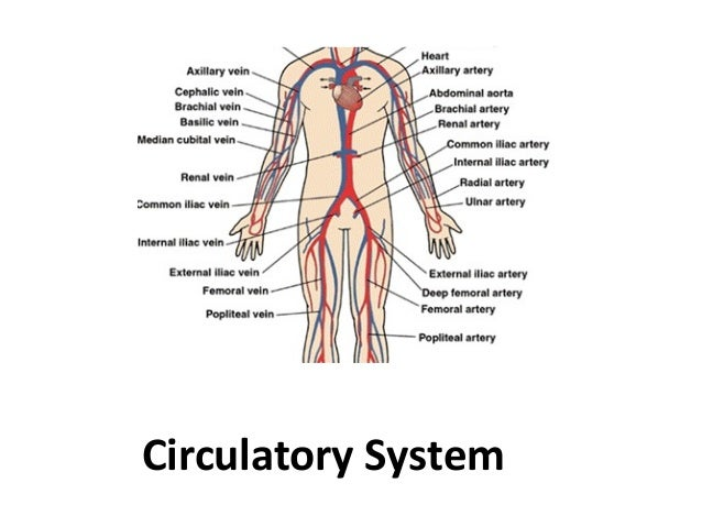 organs of the body system, Muscles
