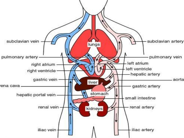 organ systems in the human body, Human Body