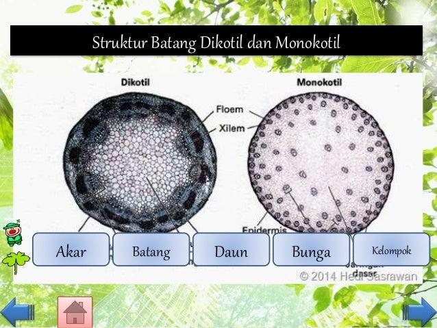 Organ Tumbuhan Dikotil Dan Monokotil