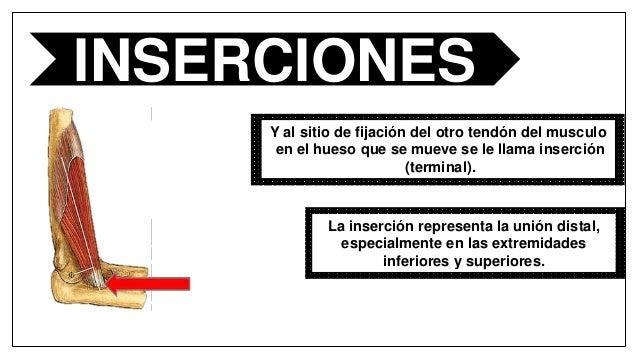 Miología, origen, inserciones y acciones musculares