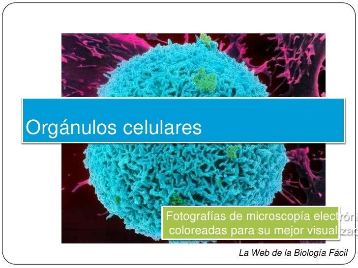 Orgánulos celulares <br />Fotografías de microscopía electrónica,<br /> coloreadas para su mejor visualización<br />La Web...