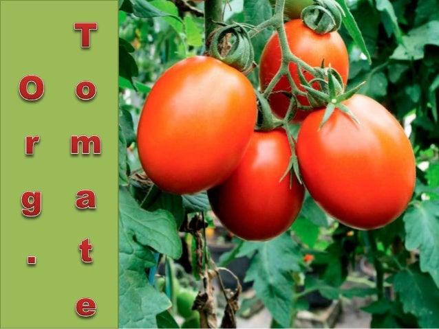 Objetivos • Preparar o solo • Obter um tomate de qualidade • Produzir com sustentabilidade • Obter lucro
