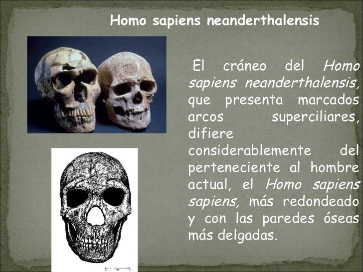 El cráneo del  Homo sapiens neanderthalensis,  que presenta marcados arcos superciliares, difiere considerablemente del ...