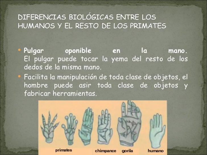 <ul><li>Pulgar oponible en la mano. El pulgar puede tocar la yema del resto de los dedos de la misma mano. </li></ul><ul><...