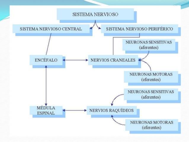 Origen del movimiento muscular y reflejos Slide 3