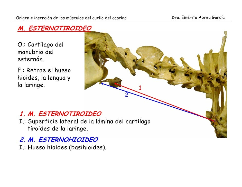 Origen e inserci n de los m sculos del cuello del caprino for Esternohioideo y esternotiroideo