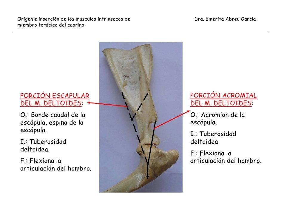 Moderno Acromion De La Escápula Ideas - Anatomía de Las Imágenesdel ...