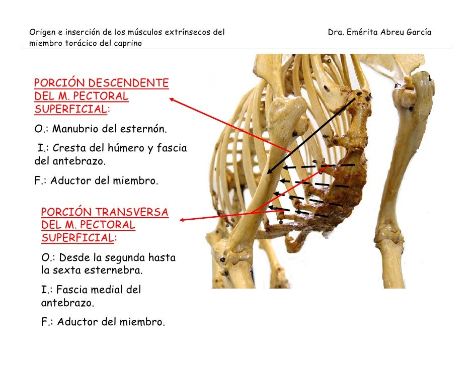 Origen e inserción de musculos extrínsecos e intrínsecos del