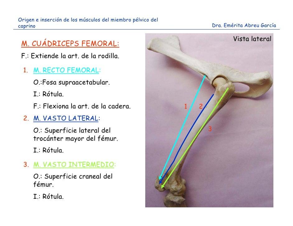 Origen e inserción músculos miembro pelvico caprino