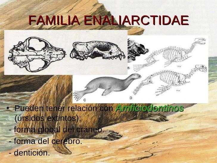 FAMILIA ENALIARCTIDAE <ul><li>Pueden tener relación con  Amficiodontinos   (úrsidos extintos): </li></ul><ul><li>- forma g...