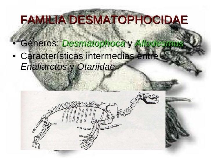 FAMILIA DESMATOPHOCIDAE <ul><li>Géneros:  Desmatophoca  y  Allodesmus . </li></ul><ul><li>Características intermedias entr...