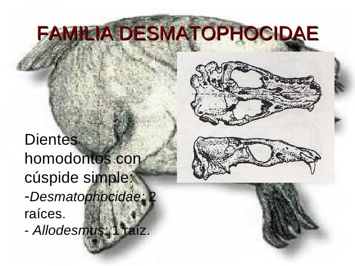 FAMILIA DESMATOPHOCIDAE Dientes homodontos con cúspide simple: - Desmatophocidae:  2 raíces. -  Allodesmus:  1 raíz.
