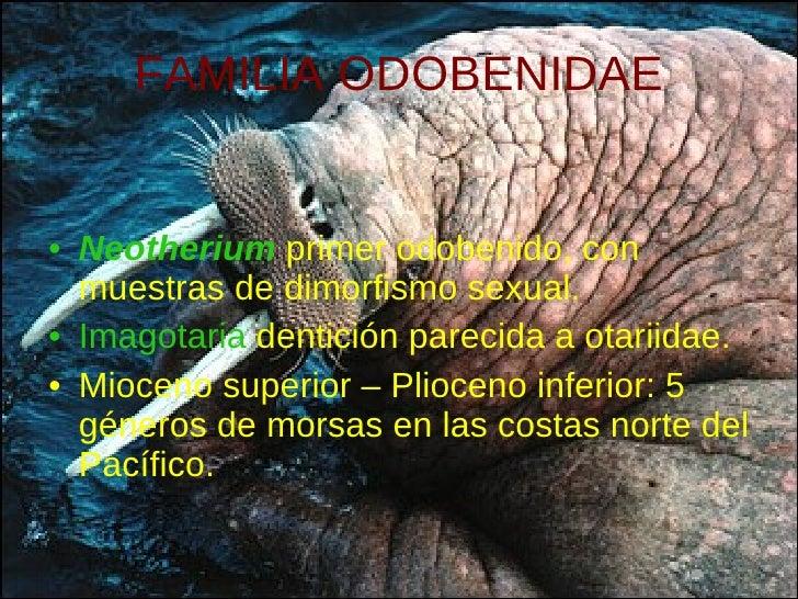 FAMILIA ODOBENIDAE <ul><li>Neotherium   primer odobenido, con muestras de dimorfismo sexual. </li></ul><ul><li>Imagotaria ...