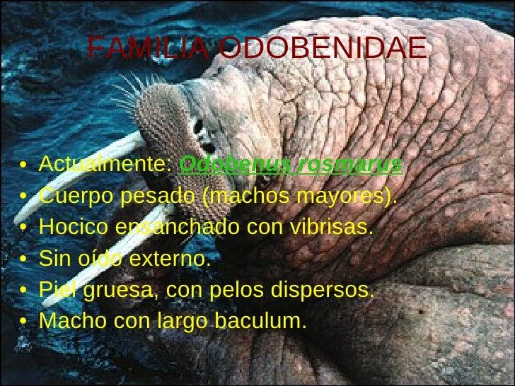 FAMILIA ODOBENIDAE <ul><li>Actualmente:  Odobenus rosmarus </li></ul><ul><li>Cuerpo pesado (machos mayores). </li></ul><ul...
