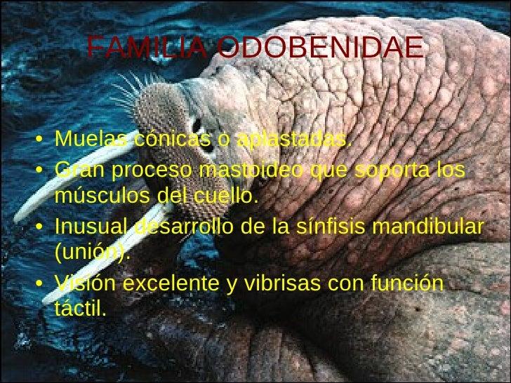 FAMILIA ODOBENIDAE <ul><li>Muelas cónicas o aplastadas. </li></ul><ul><li>Gran proceso mastoideo que soporta los músculos ...