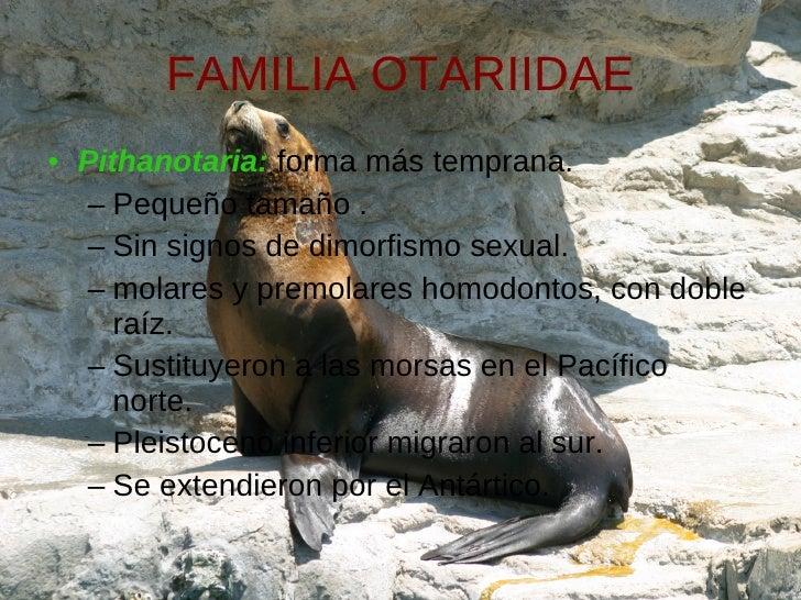 FAMILIA OTARIIDAE <ul><li>Pithanotaria:  forma más temprana.  </li></ul><ul><ul><li>Pequeño tamaño .  </li></ul></ul><ul><...