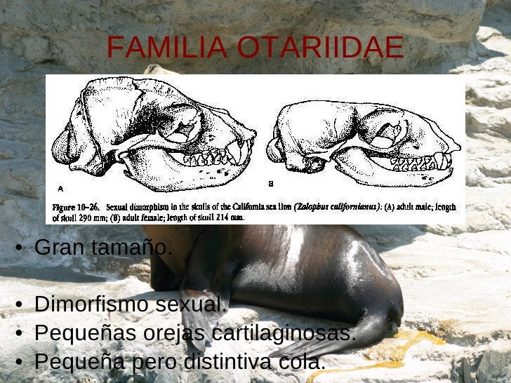 FAMILIA OTARIIDAE <ul><li>Gran tamaño. </li></ul><ul><li>Dimorfismo sexual. </li></ul><ul><li>Pequeñas orejas cartilaginos...