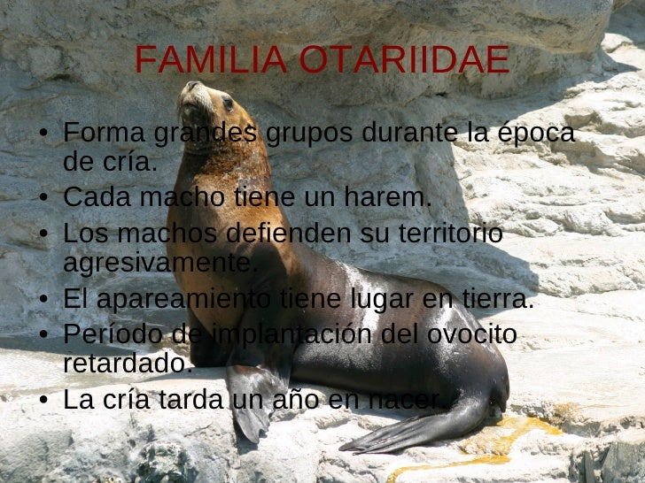 FAMILIA OTARIIDAE <ul><li>Forma grandes grupos durante la época de cría. </li></ul><ul><li>Cada macho tiene un harem. </li...