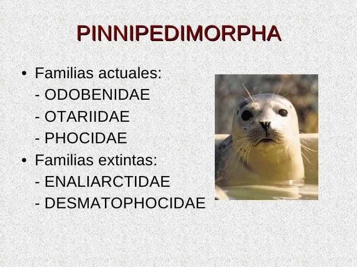 PINNIPEDIMORPHA <ul><li>Familias actuales:  </li></ul><ul><li>- ODOBENIDAE </li></ul><ul><li>- OTARIIDAE </li></ul><ul><li...