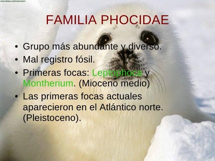 FAMILIA PHOCIDAE <ul><li>Grupo más abundante y diverso. </li></ul><ul><li>Mal registro fósil. </li></ul><ul><li>Primeras f...