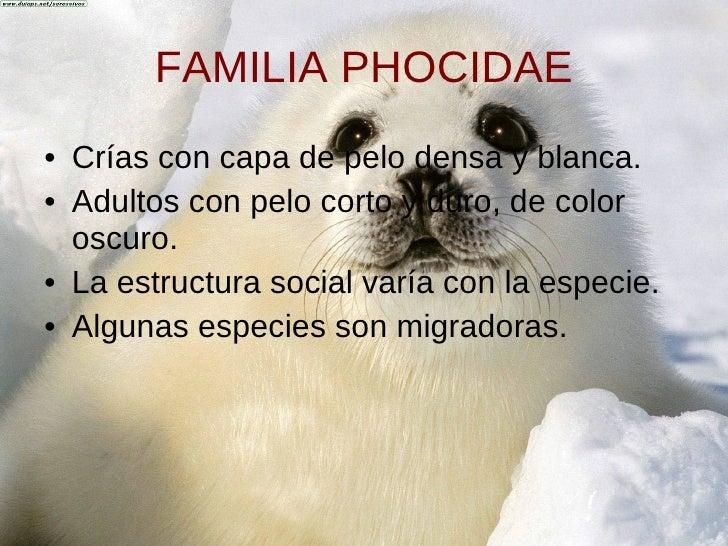 FAMILIA PHOCIDAE <ul><li>Crías con capa de pelo densa y blanca. </li></ul><ul><li>Adultos   con pelo corto y duro, de colo...