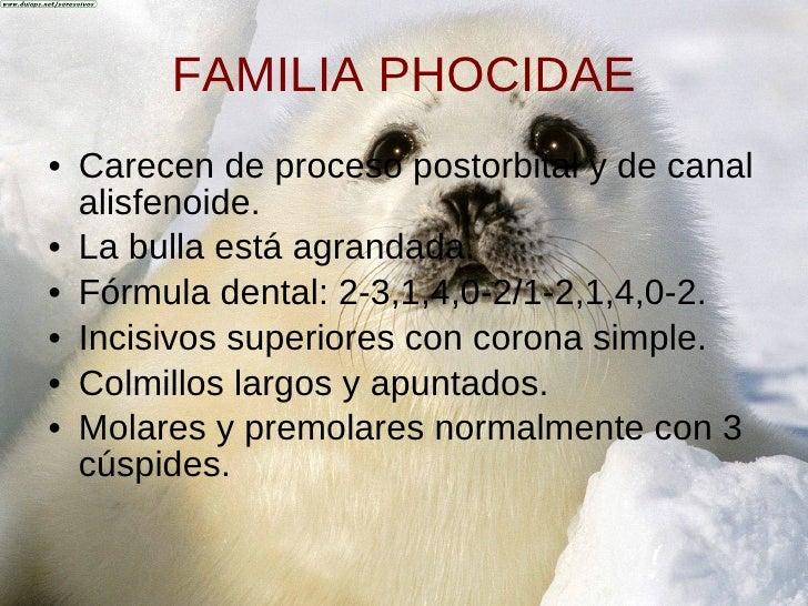 FAMILIA PHOCIDAE <ul><li>Carecen de proceso postorbital y de canal alisfenoide. </li></ul><ul><li>La bulla está agrandada....