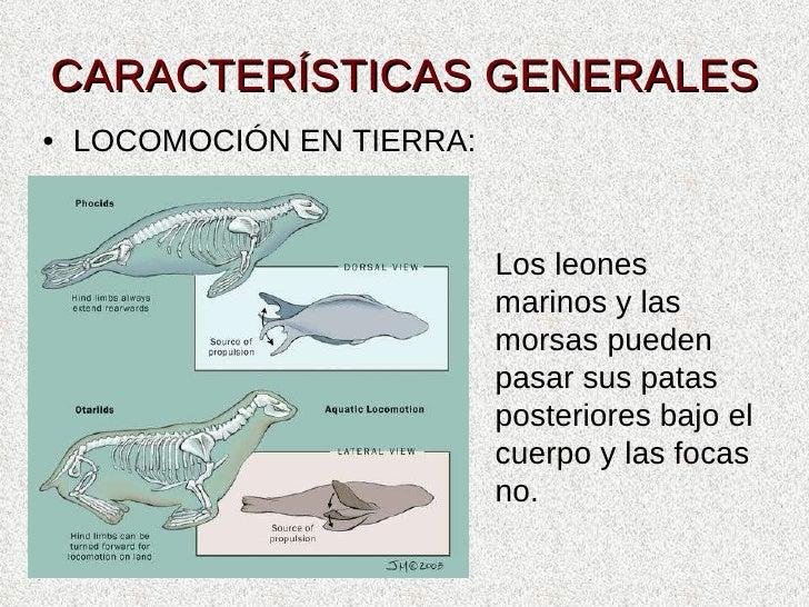 CARACTERÍSTICAS GENERALES <ul><li>LOCOMOCIÓN EN TIERRA: </li></ul>Los leones marinos y las morsas pueden pasar sus patas p...
