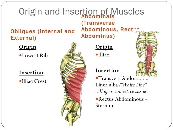 Origin And Insertion Of Major Muscles Fibre