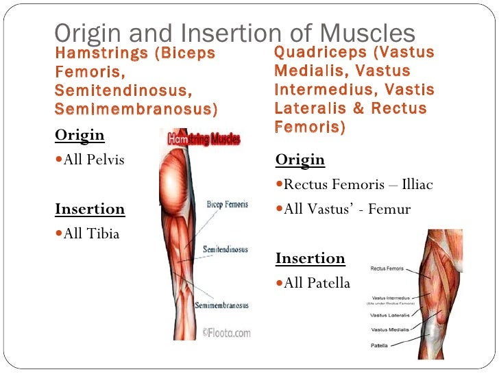 Origin and insertion of major muscles & fibre