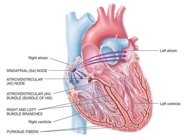Origin and spread of cardiac impulse pacemaker conducting system of 4 the sinus node as the pacemaker of the heart ccuart Images