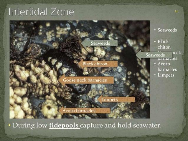 21  • Seaweeds  • Black  chiton  • Goose neck  barnacles  • Acorn  barnacles  • Limpets  Seaweeds  Black chiton  Goose nec...