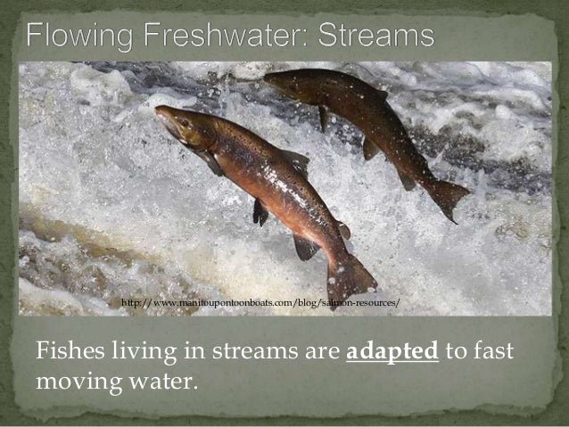 http://www.manitoupontoonboats.com/blog/salmon-resources/  Fishes living in streams are adapted to fast  moving water.