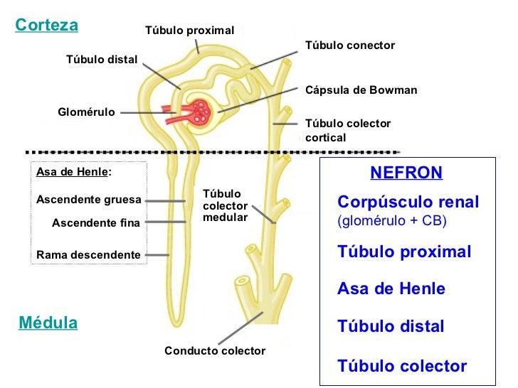 Corteza                Túbulo proximal                                              Túbulo conector       Túbulo distal   ...
