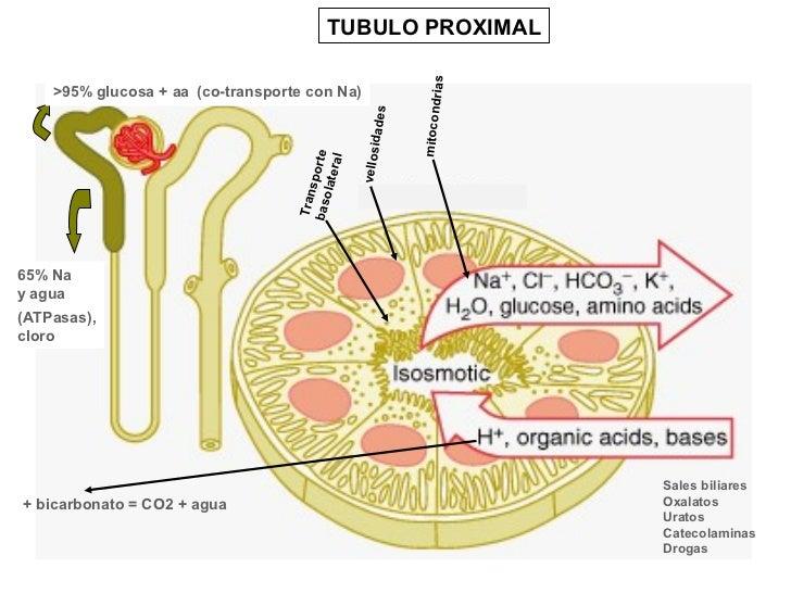 TUBULO PROXIMAL                                                               rias    >95% glucosa + aa (co-transporte con...