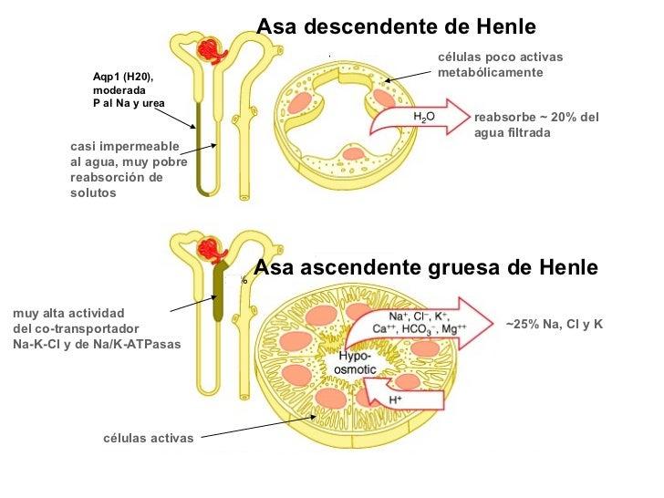 Asa descendente de Henle                                              células poco activas           Aqp1 (H20),          ...