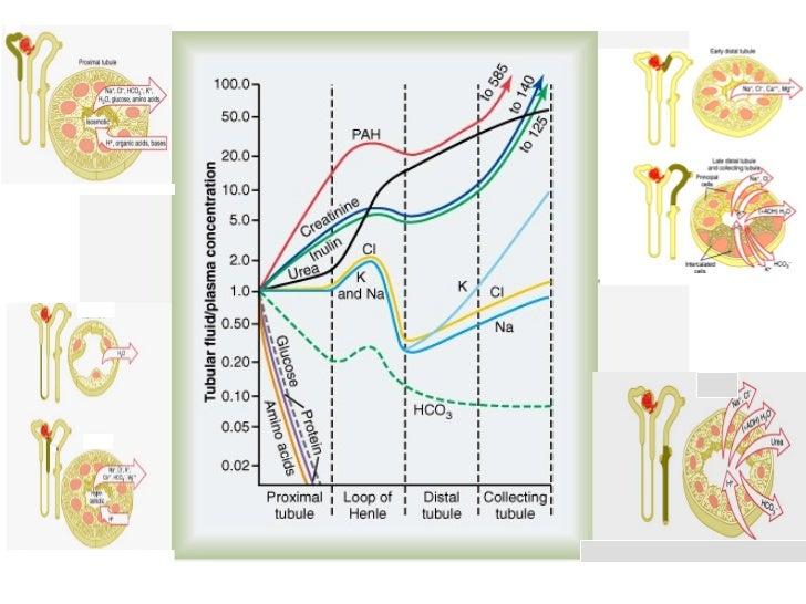 REABSORCION DE GLUCOSASe reabsorben las proteínas filtradas? Cómo? por PICNOCITOSIS (TCP)